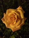 Beatification of  One Rose