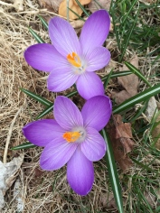 Lush is the wrong adjective describing this Crocus. Color Control is apt.